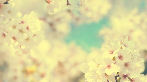 Bahar Kiraz Çiçeği