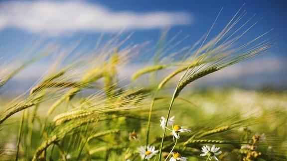 Yeşil Buğday