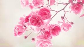 doğa,gül,çiçek