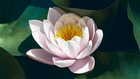 doğa,çiçek,nilüfer