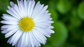 çiçek,papatya