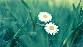 çiçek,papatya,çimen