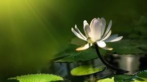 çiçek,lotus