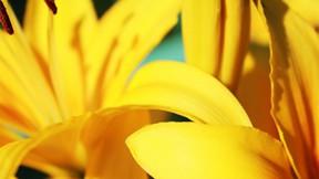 çiçek,zambak