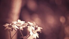 doğa,çiçek,papatya