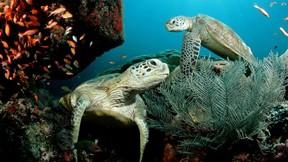 deniz kaplumbağası,kaplumbağa,deniz,mercan,balık
