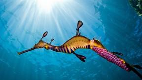 otlu deniz ejderi,deniz