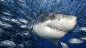 köpek balığı,balık,deniz