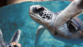deniz kaplumbağası,kaplumbağa,deniz