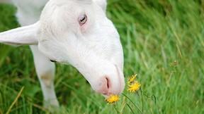 çiçek,inek