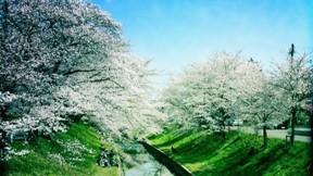 ilkbahar,nehir,ağaç,çiçek,çimen