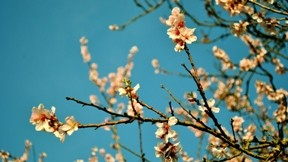 ilkbahar,şeftali,çiçek,gökyüzü