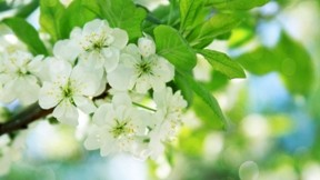 ilkbahar,armut,çiçek