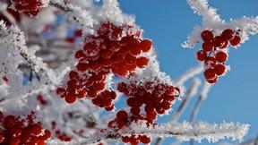 kış,kar,çilek