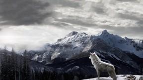 kurt,vahşi,orman,dağ,kar,gökyüzü,doğa