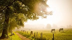 sonbahar,ağaç,inek,güneş,doğa