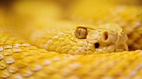 yılan,çıngıraklı,albino