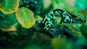 kurbağa,yaprak