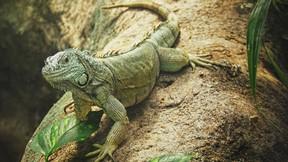 iguana,orman,yaprak