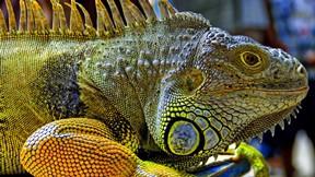 iguana,renkli