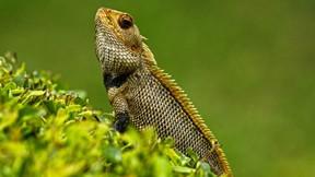 iguana,kertenkele,doğa