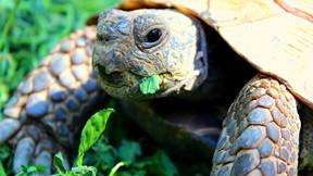 kaplumbağa,çimen,makro,göz