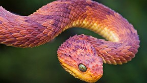 yılan,engerek