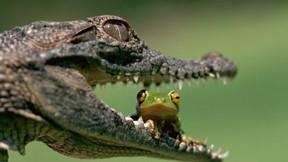 timsah,kurbağa