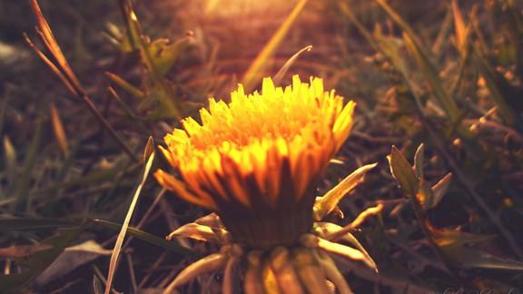 Bahar Çiçeği
