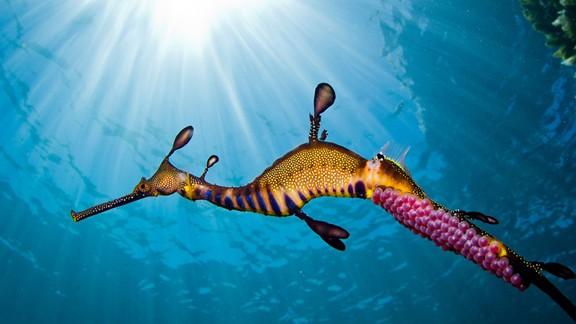 Otlu Deniz Ejderi