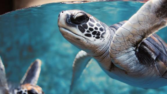Yeşil Deniz Kaplumbağası