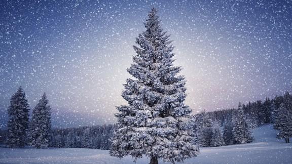 Kar Yağışı ve Çam Ağacı