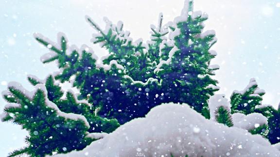 Kar Altında Çam Ağacı