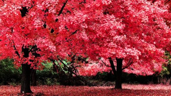 Pembe Yapraklı Ağaçlar