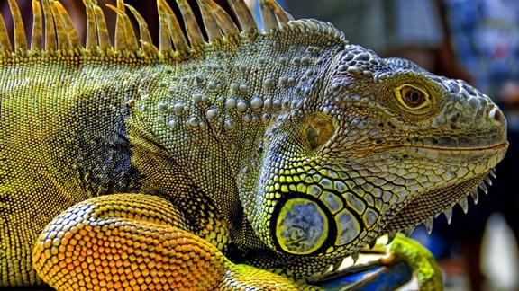 Renkli İguana