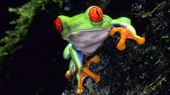 Kırmızı Gözlü Ağaç Kurbağası