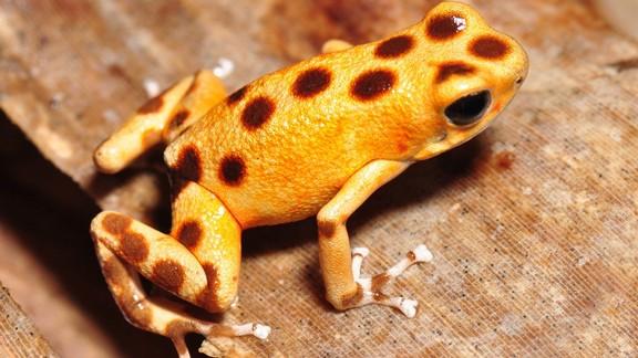 Sarı Benekli Kurbağa