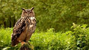 baykuş,doğa,ağaç