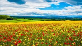 ilkbahar,çiçek,gelincik,doğa,gökyüzü