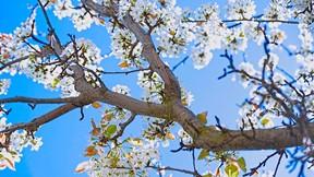 ilkbahar,çiçek,erik,ağaç,gökyüzü
