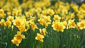 ilkbahar,çiçek,sarı