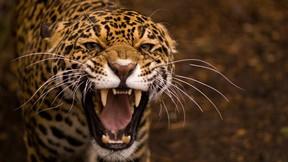 jaguar,hayvan,vahşi,doğa