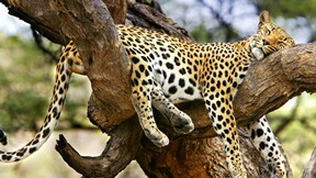 jaguar,hayvan,vahşi,doğa,ağaç