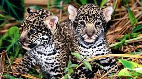 jaguar,hayvan,vahşi,doğa,yavru