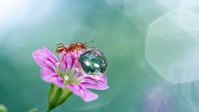 karınca,makro,damla,su,çiçek