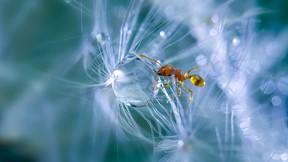 karınca,makro,damla,su,karahindiba