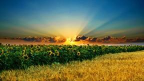 ayçiçeği,yaz,güneş,günbatımı
