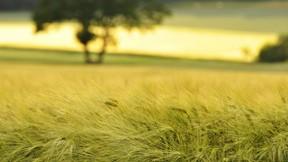 yaz,buğday,tarla