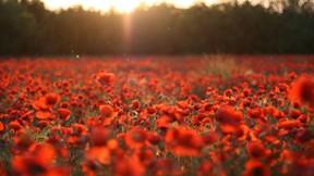 yaz,çiçek,gelincik