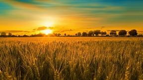 yaz,mevsim,buğday,tarla,günbatımı